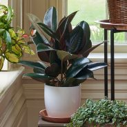 Ficus Elastica Plant – All the Ways This Amazing Plant Can Improve Your Health