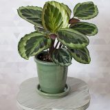 How to Successfully Grow the Vibrant Calathea Flower Indoors