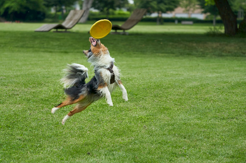 dog playing with a throwing wheel